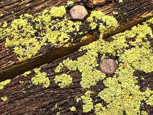 Woodseal voorkomt - mos algen groene aanslag
